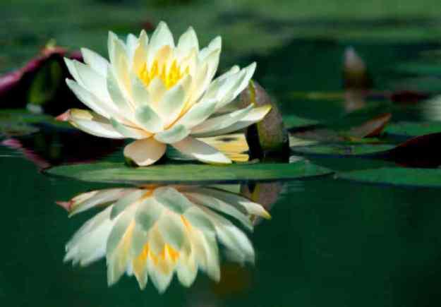 Lotus.2